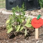 garden-tomato-img_0313