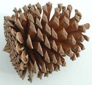 pine cone 300x276 Ask Maria   Preserving Pinecones and Acorns
